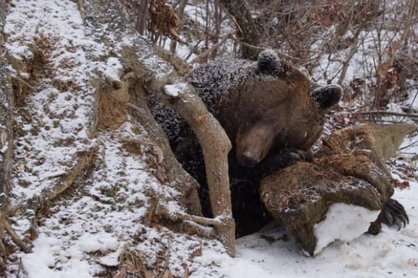 ursul de grăsime ajută dacă ce unguente sunt mai bune de la varicoză